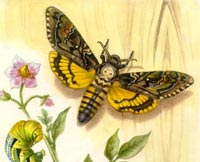Acherontia atropos (Linnaeus, 1758) Fluturele cap-mort